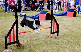 Friday Exhibition - Dog Agility Show